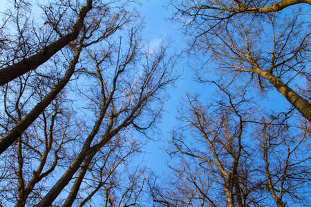 high crown of trees with bare branches in the sky blue spring sky.