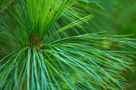 long pine green needles and branches close-up, nature background