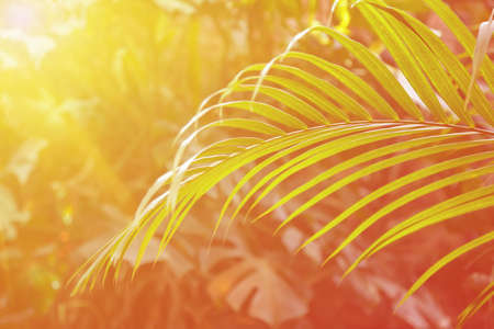 green leaf of palm with the suns glare at sunset. Summer tropical background Stock Photo