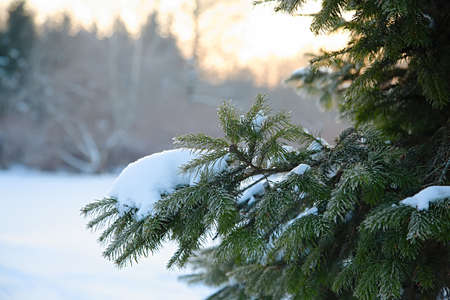 Christmas tree brunch in forest with snow. Copy space