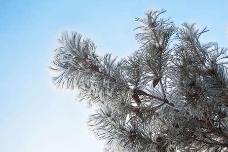 Snowy blue spruce closeup on blurred background. Winter forest Stok Fotoğraf
