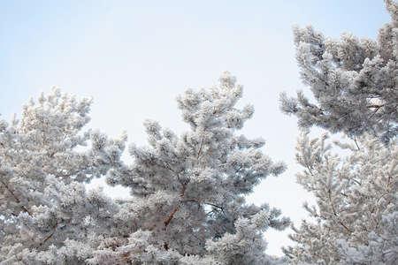 Snowy blue spruce closeup on blue sky