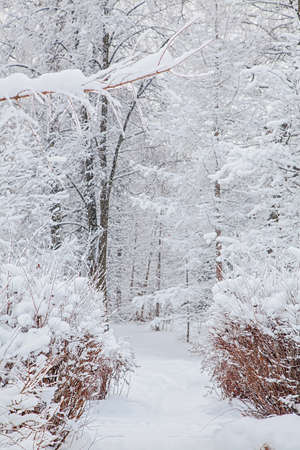 Snowy forest and path of trees