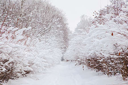 Snowy forest and path of bushes