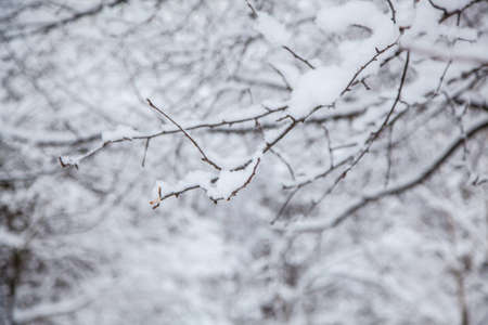 Winter forest. Winter background, tree branches in the snow.