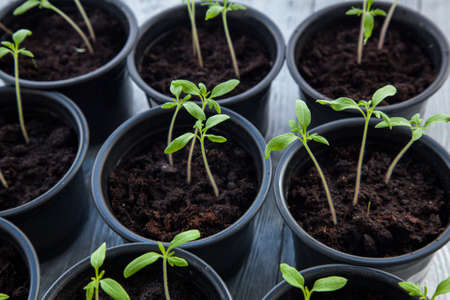 Some green sprouts in a flower pot and copy space.Seedlings in a pots spring time. Stockfoto