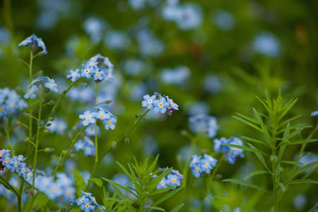 Field of freshness delicate forget-me-nots. Floral blue background