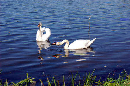 Couple of swans in the blue lake
