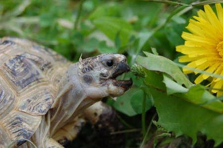 land shell: Turtle eats green grass