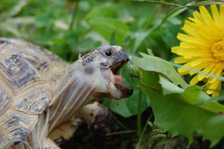 Turtle eats green grass