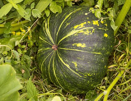 large pumpkin: Large green pumpkin with yellow stripes lies in the grass Stock Photo