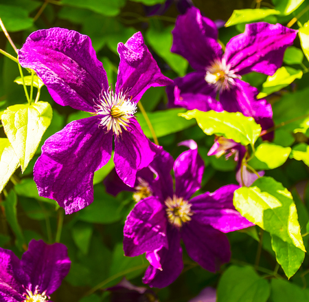 clematis: Blooming purple clematis flowers. Selective focus image Stock Photo