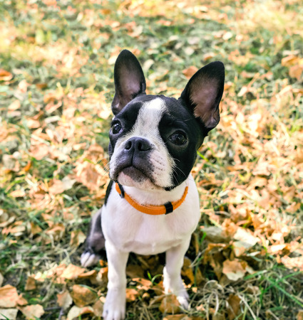 Black and white Boston Terrier Puppy sitting on the grass Stock Photo