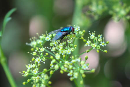Fly focused on a dill plant