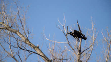 A crow with a branch flying