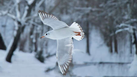 White seagull in flyght and snow