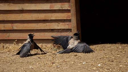 Two crows in funny possitions scene 版權商用圖片