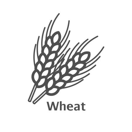 grain fields: Wheat ears thin line vector icon. Isolated wheat agriculture linear style for menu, label, logo. Simple vegetarian food sign.