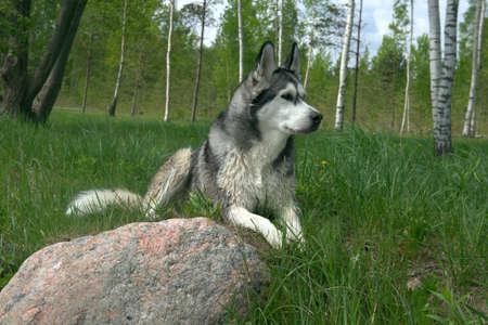 the dog breed an Alaskan malamute lies on a green grass near a big stone Reklamní fotografie
