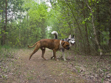 malamute: two dogs, boxer and malamute breed in the woods, nature