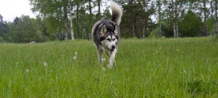 malamute: dog breed malamute on the green grass Stock Photo