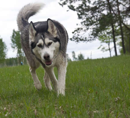 gray wolf black and white: dog breed malamute on the green grass Stock Photo