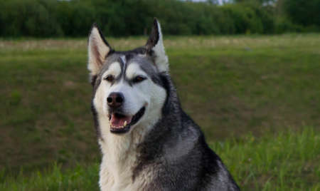 the dog, breed a malamute, sits on a country road, a green grass, the summer period, evening, a portrait Stock Photo