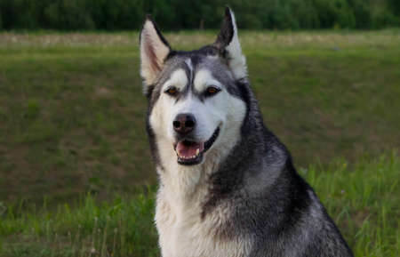 sits: the dog, breed a malamute, sits on a country road, a green grass, the summer period, evening, a portrait Stock Photo