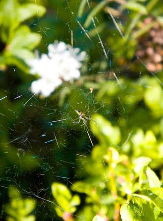 wood spider: spider, one, web, hangs, wood, nature, green background, grass, flower white, black spider, solar weather