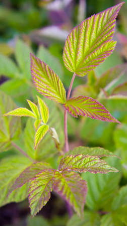 bordering: leaves of raspberry forest in the natural environment, the wood, young and fresh, green with a bordering lilac and pink color
