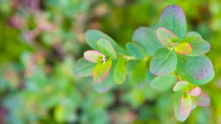 bordering: leaves of a blueberry forest in the natural environment, the wood, young and fresh, green with a bordering lilac and pink color Stock Photo