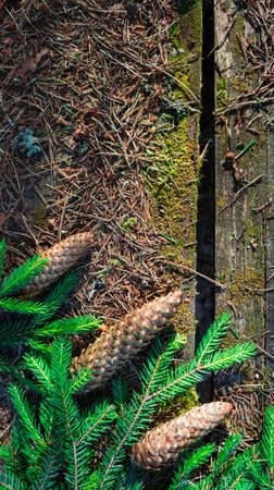 arose: old table in the wood, a surface arose weather, on a table coniferous branches and three big cone-shaped fir cones lie near green coniferous branches
