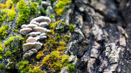 parasites: the old large dark gray stump grow moss green and fluffy white mushrooms parasites brown shades, close-up