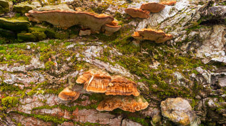 parasites: brown and orange fluffy wood mushrooms parasites grow in the wood on the big gray stub covered with a moss Stock Photo