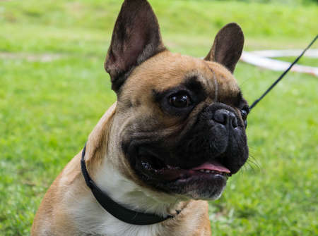 brown and black dog face: portrait of a dog muzzle breed french bulldog on a leash in the park, light color with a black muzzle, standing on the grass