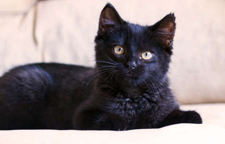 small black fluffy kitten on a brown background, thoroughbred, three months, with yellow bright big eyes, lying, watching carefully, cat, black, Stock Photo