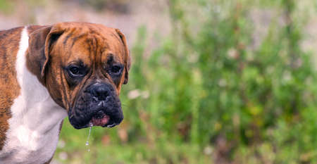 German boxer outdoors in the heat, wet, sad muzzle, portrait on a background of green grass, Stockfoto
