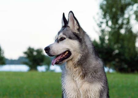 adult Alaskan malamute dog