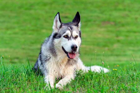 adult dog breed alaskan malamute is on the field with green cut grass in summer, muddy after walking, funny face hooligan