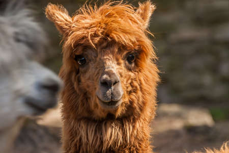 a portrait of a red-haired alpaca with a shaved bang, eyes are visible, looks into the camera, a pretty muzzle of a female, Riga zoo
