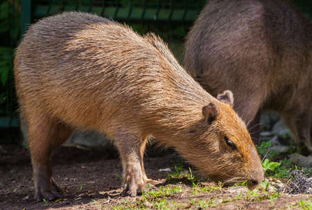 adult capybara sniffs grass in search of food, brown short hair, sunny day, spring period, in the background a fence and part of another capybar, close-up, full-length portrait Banco de Imagens - 91603387