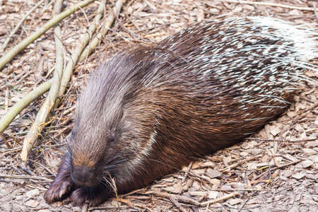 full-length porcupine lies and sleeps on the sawdust of the tree, next to it lie branches, closed eyes, paws extended forward, one