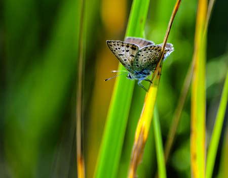 pretty furry blue butterfly, with round black spots on wings sits on a faded flower in a field of green grass and flowers in the background