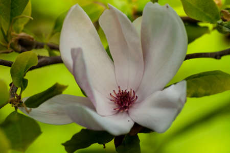 white magnolia flower on a branch in a garden close-up, wide white leaves, dark red-brown heart, green background, spring day, overcast,