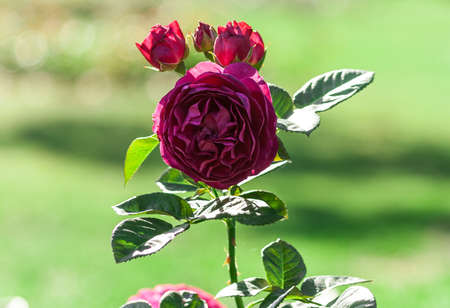 rose flower grade ascot, globular terry purple-violet flowers, one in bloom and three buds, in the background a green blurred grass, a plant in the garden, sunny, summer,