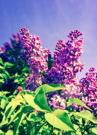 lilac bush in the early spring on a sunny day, bright purple and pink, a few bunches in full bloom, against a background of blue sky, beautiful photo, processed, preset, azure