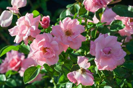 Rose grade armada bush of roses with lots of large pink flowers rose grade armada bush of roses with lots of large pink flowers lit by mightylinksfo