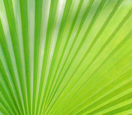 part of a green palm leaf as a background, a light texture with some shadow on top and side, sunny view of a tropical plant