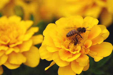 Beautiful bright yellow marigolds, a symbol of health and longevity, closeup with a bee, growing in nature