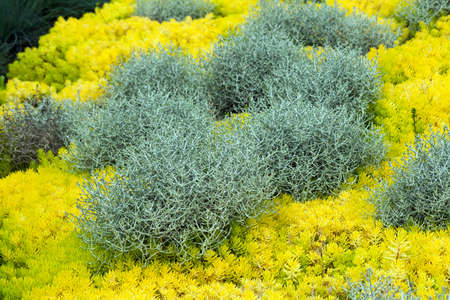 Gray-silvery calocephalus brownii, a beautiful, unusual plant for home and garden, surrounded by yellow sedum reflexum Angelina, also known as sedum rupestre Angelina Banco de Imagens